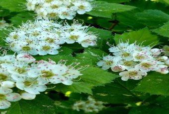 В мае заготавливаем цветы боярышника